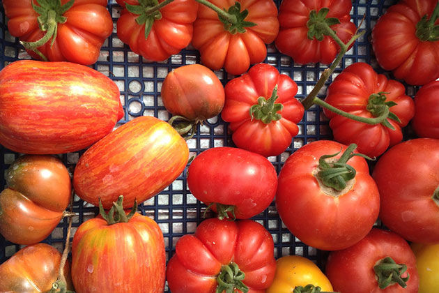 Italian tomatoes - a scatter of tomatoes