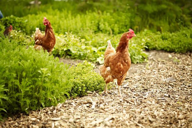 Free range chickens in a garden