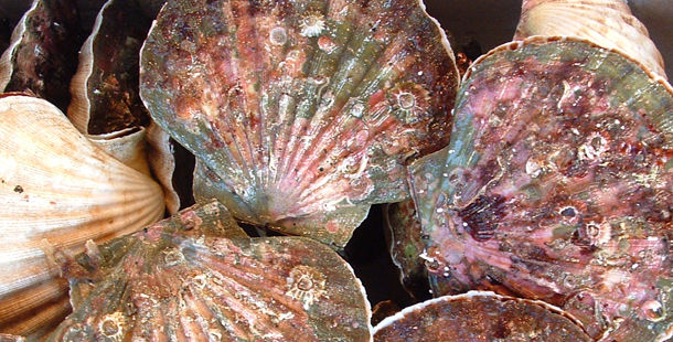 fresh scallop shells