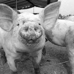 photo of pigs in black and white