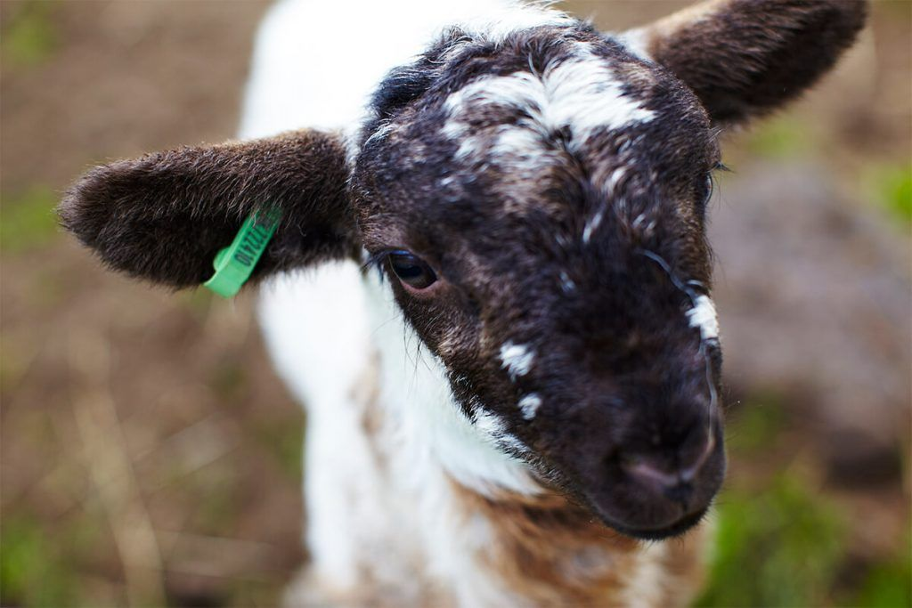 photo of a black and white lamb