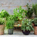 plant pots with herbs growing in them outside