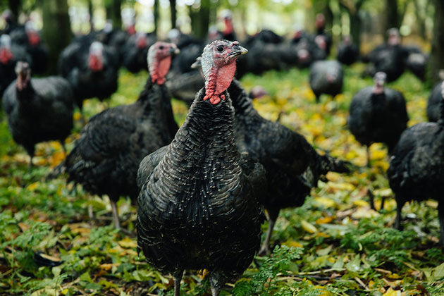 a field of turkey walking around