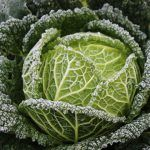 december garden frosty savoy