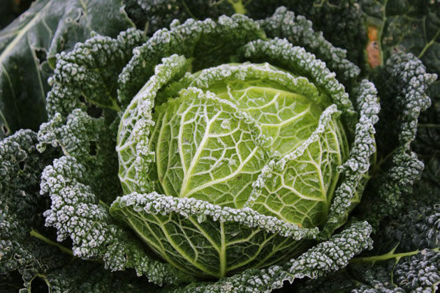 december garden frosty savoy