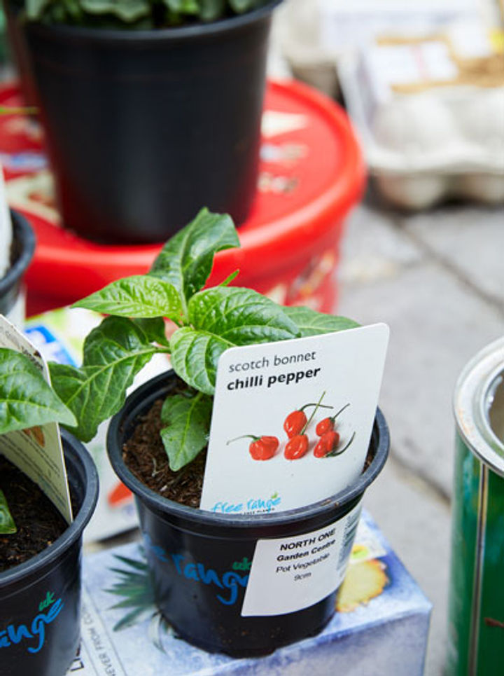 garden pots with tomato plant in