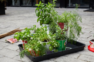How to grow herbs & chillies in your kitchen