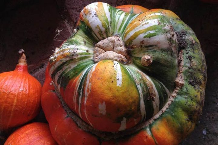 Close up of a large green and orange squash