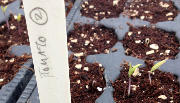 tomato seeds in pots with a label