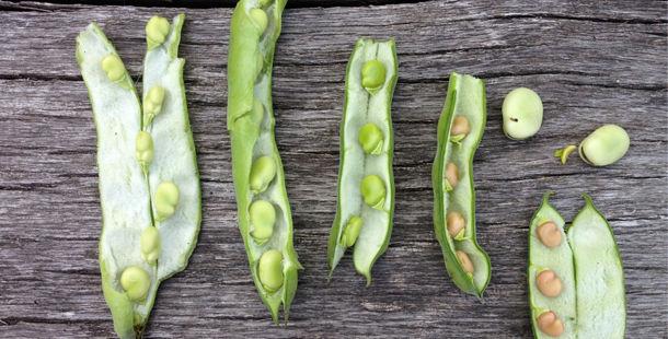 broad beans