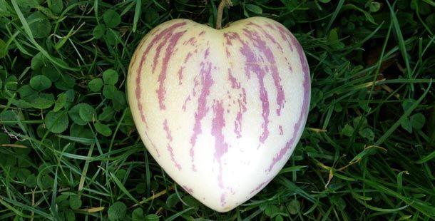 melon pear growing