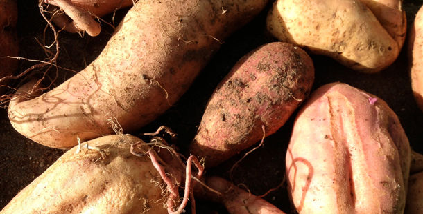 sweet potatoes freshly picked from the ground