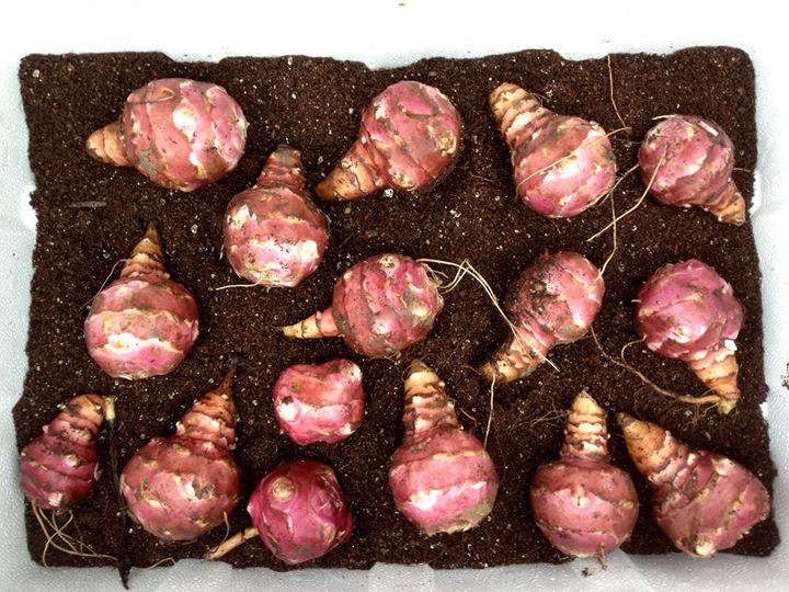 jerusalem artichokes