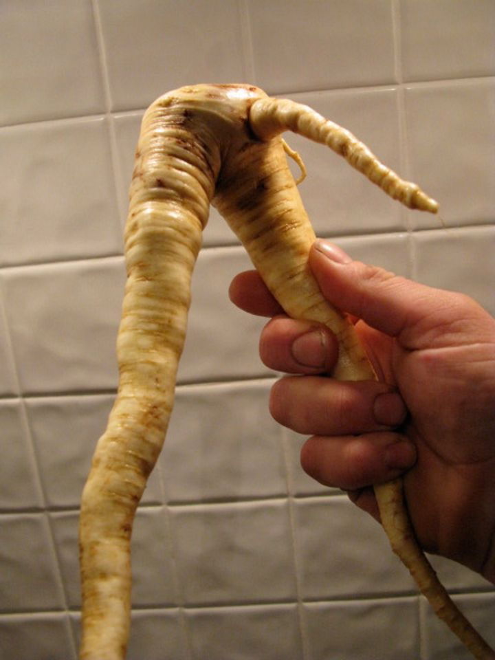 growing parsnips