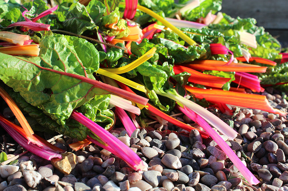 colourful chard stems freshly picking in garden