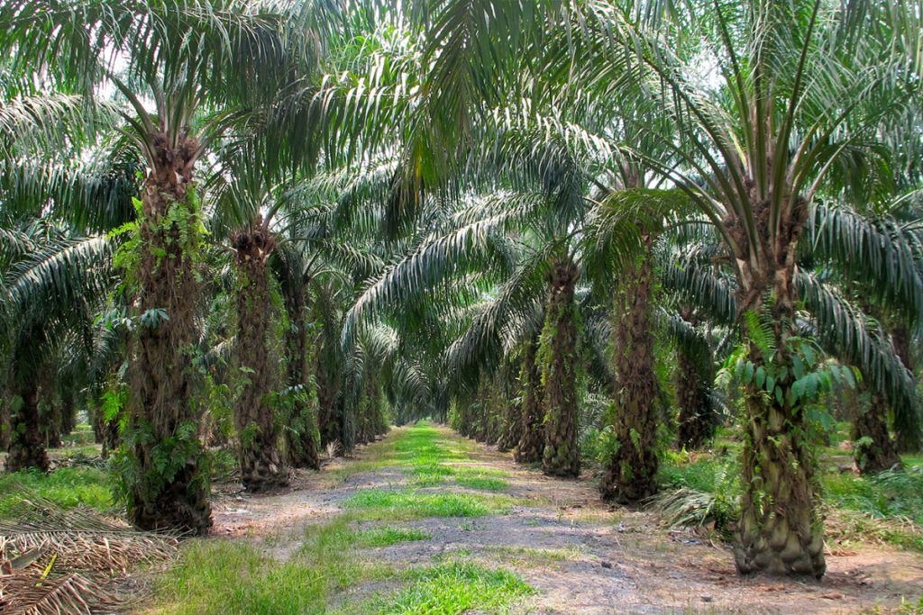 palm trees in rows