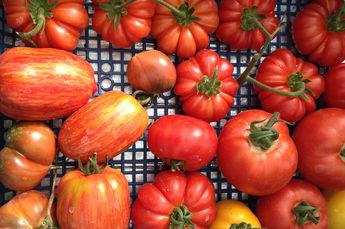 Celebrating Italian tomatoes