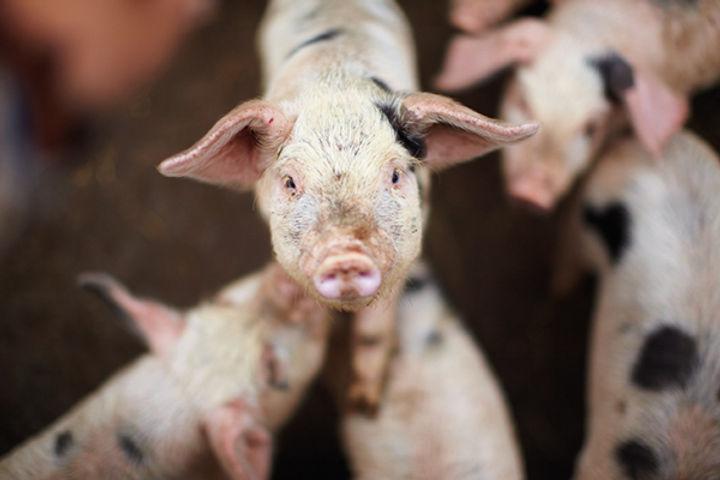 Higher welfare - pork